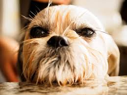 Top 10 Dogs That Dont Shed by 11 Dog Breeds That Don U0027t Like The Water Rover Com
