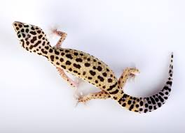Do Leopard Geckos Shed by Excess Weight Loss In Geckos Skinny Tail In Lizards Petmd