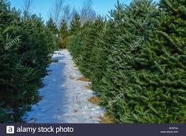 Eustis Christmas Tree Farm by Growing Christmas Trees Stock Photos U0026 Growing Christmas Trees
