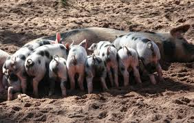 11 Must-know Things About Starting A Pig Farming Small Business ... Pin By Pat Wozniak On Pork Pinterest Business Planning Afc Pig Farm Ecomavrovic How To Raise Pastured Pigs Without Buying Feed Httpwww Tammi Jonas Food Ethics Farming Plan Sample Dsc Raising Pros Cons The Prairie Homestead Figueroa Breeding Gguinto Bulacan Youtube Gloucestershire Old Spot Pigs And That Farm There Was To Make Your Own Pig Feed The Organic Farmer Heaven What Makes Free Range Different Downtoearth 54 Best Images Farming Backyard In Nigeria Detail Post Practical Traing Its Time Front Yard Farmer