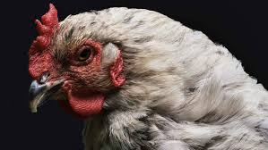 Big Chicken A 1948 Antibiotic Experiment That Shook the World