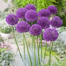 allium purple sensation tulips