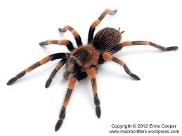 Do Tarantulas Shed Their Legs by February 2013 Macrocritters