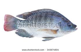 Nile Tilapia Fish Isolated On White Background With Clipping Path