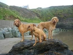 Vizsla Dog Breed Shedding by Need Information About Wirehaired Vizslas And Shedding Hair