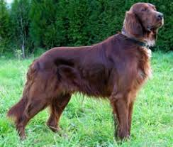 irish setter dog breed remarkable dogs