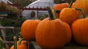 Toms Pumpkin Farm by Healthy Pumpkin Crop Means Easier Carving Wcco Cbs Minnesota