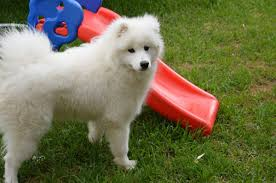 Big Dogs That Dont Shed Badly by The Samoyed U2013 Awesome Dog But Is It The Right One For You The
