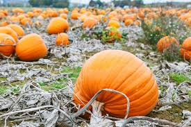 Pumpkin Patch In Homer Glen Illinois by A Complete Guide To Fall In Chicago Urbanmatter