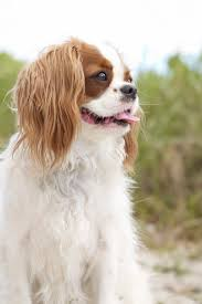 Large Dog Breeds That Dont Shed by 15 Quiet Dog Breeds Dogs That Don U0027t Bark