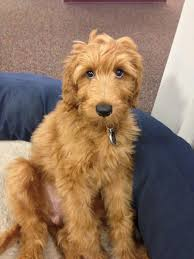 24 best possible puppy images on pinterest dogs dog breeds and