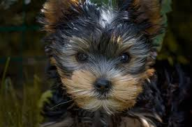 Stop Rat Terrier Shedding by Bark Busters Breed Of The Month Yorkshire Terrier