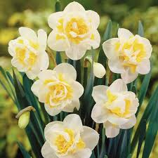 42 best daffodil images on daffodils flowers