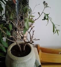 olivier en pot dans un salon plantes du jardin et de la maison