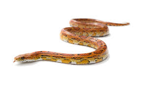 Corn Snake Shedding Too Often by Uvb Lighting U2013 What Why How Part 1 U2013 Snakes And Nocturnal
