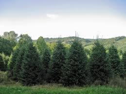 Fraser Fir Christmas Trees Care by Christmas Trees Severt U0027s Tree Farm 276 655 3969