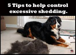 Excessive Hair Shedding In Dogs by 5 Tips To Help Control Excessive Shedding King Kanine