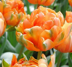 tulipa orange princess 12 bulbs medium bag