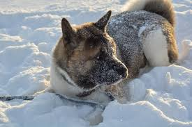 Do American Akitas Shed by Akita American Dog Breed Information All Our Paws