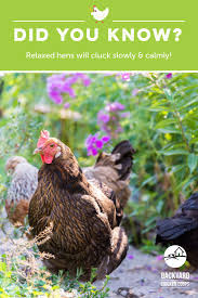 30 Best Chicken And Egg Facts Images On Pinterest   Backyard ... Backyard Chickens 101 The Moms Guide To San Diego Amazoncom Complete Beginners Lauren Diamant Are Hard Workers In Our Bnyard Every Animal We Raise Renew Pinterest Flock Has A Complex Social Hierarchy With Singular Leader Raising For Dummies Modern Farmer Sister Chicks Club House Backyard Home Cluck Central Cedar Falls Iowa Public Radio 2015 Fact Sheet Chicken Egg 141 Best Images On