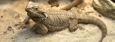 bearded dragon care tips for summer bearded dragon care 101