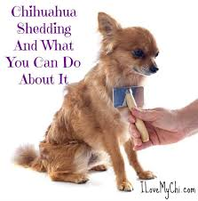 Do Long Haired Chiweenies Shed by Chihuahua Shedding And What You Can Do About It I Love My Chi