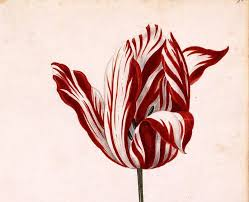 the most beautiful tulip in history cost as much as a house