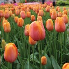 orange flower bulbs garden plants flowers the home depot