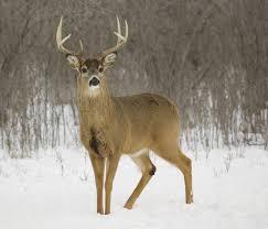 Deer Antler Shedding Cycle by 6 Reasons Bucks Shed Their Antlers