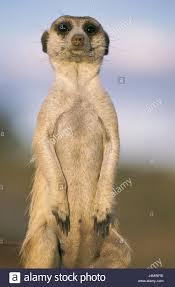 Namibia Earth Little Man Suricata Suricatta Raised Africa South West Close Keetmanshoop Animal World Wildlife Animals Wild