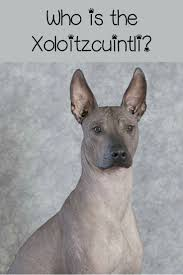 Non Shed Dog Breeds Large by Best 25 Hypoallergenic Dog Breed Ideas On Pinterest Small