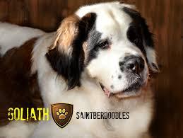 Do Short Haired Saint Bernards Shed by Goliath Saintberdoodles