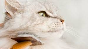 Do Maine Coons Shed In The Summer by Spring Shedding What To Do When Your Cat Loses Their Winter Coat