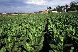 FileTobacco Field Cuba1
