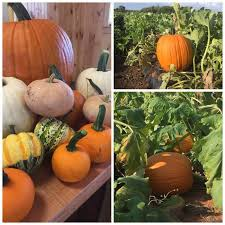 Pumpkin Patch Columbia Sc 2015 by Sc Pumpkin Patch