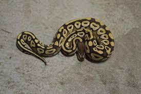 baby mojave ball pythons for sale