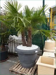 palmier en pot exterieur photos de conception de maison