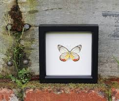 Butterfly Art Display Painted Jezebel Bug Under Glass Real Framed