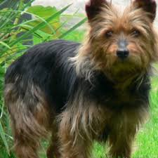 Non Shedding Dog Breeds Small by Short Hair Small Dog Breeds Small Dog Breeds Information