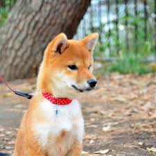 Do American Akitas Shed by Shedding Of Shiba Inus Animalwised