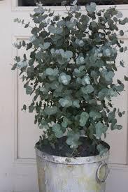 eukalyptus für die terrasse garten pflanzen die