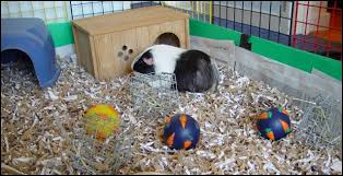 Pine Bedding For Guinea Pigs by Bedding