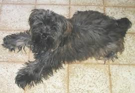 yorkie poo puppies dog breed information pictures