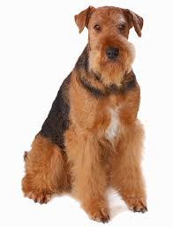 Do Airedale Puppies Shed by 35 Dog Breeds That Don U0027t Shed Small Medium U0026 Large Breeds