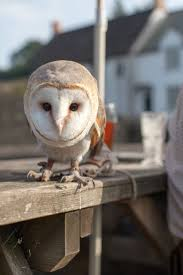 386 Best Owls Images On Pinterest | Barn Owls, Beautiful And Nature This Galapagos Barn Owl Lives With Its Mate On A Shelf In The Baby Barn Owl Owls Pinterest Bird And Animal Magic Tito Alba Sitting On Stone Fence In Forest Barnowl Real Owls Echte Uilen Wikipedia Secret Kingdom Young Tyto Roost Stock Photo 206862550 Shutterstock 415 Best Birds Mostly Uk Images Feather Nature By Annette Mckinnnon 63 2 30 Bird Great Grey