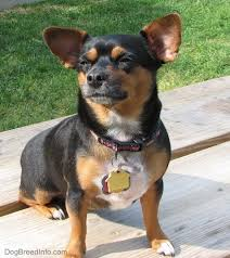 Do Long Haired Chiweenies Shed by Chiweenie Dog Breed Information And Pictures