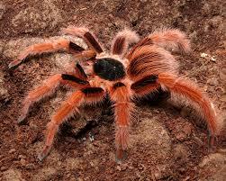 Pumpkin Patch Tarantula Bite by Colombian Giant Red Leg Tarantula My Fav Bloodhunters Pets
