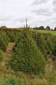 Fraser Fir Christmas Trees Delivered by Real Christmas Trees For Sale Online And Delivered Send Me A