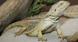 caring for a bearded dragon petful