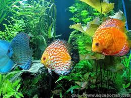 aquarium d eau douce accueil guide du débutant aquariophilie eau douce